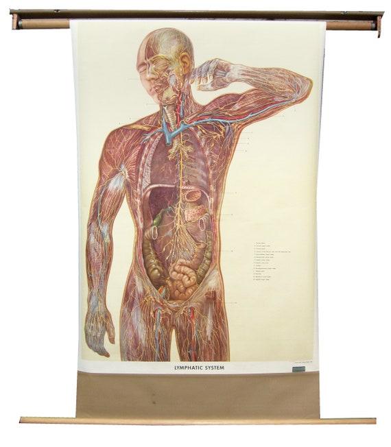 1957 Denoyer Geppert Lymphatic System Anatomical Chart Etsy