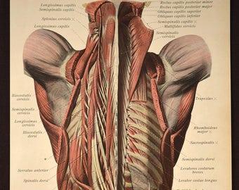 Medical Wall Art Print Human Anatomy Body Wall Decor Torso