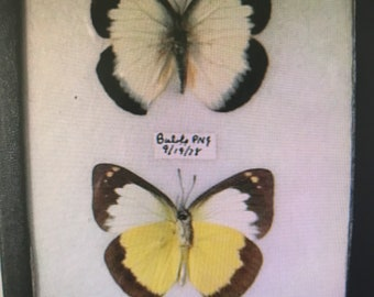 Pair Vintage Butterfly Specimen Moth Specimen Box Collection Taxidermy Nature