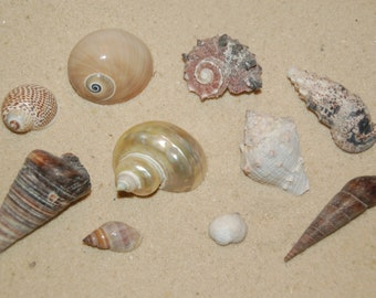 Weddings Display Set Of 10 Assorted Small Seashells 12 To 1--Set 34--Hermit Crabs Crafting