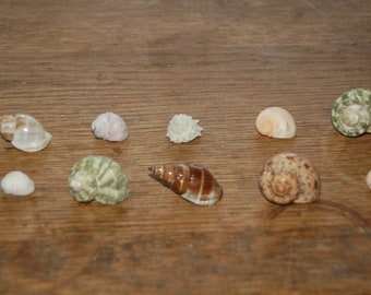 """Set Of 10 Assorted Small Hermit Crab Seashells 1/2"""" To 1""""--Set 45"""