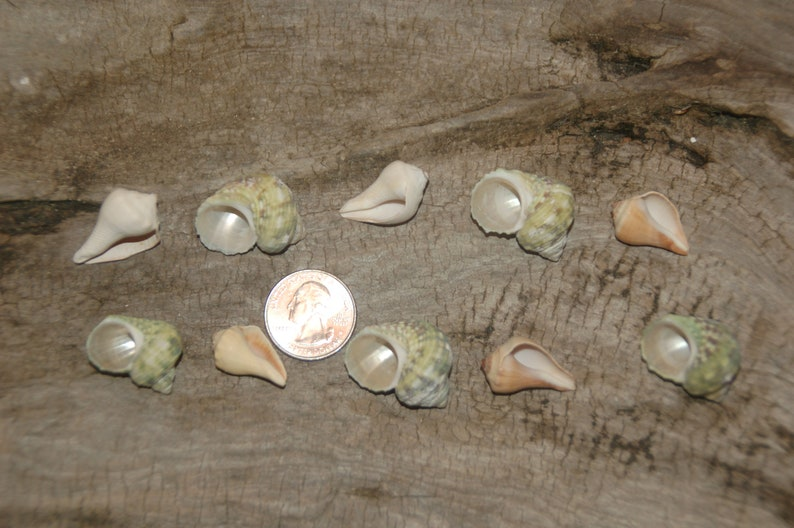 Set Of 10 Assorted Small Hermit Crab Seashells 12 To 1--Set 22