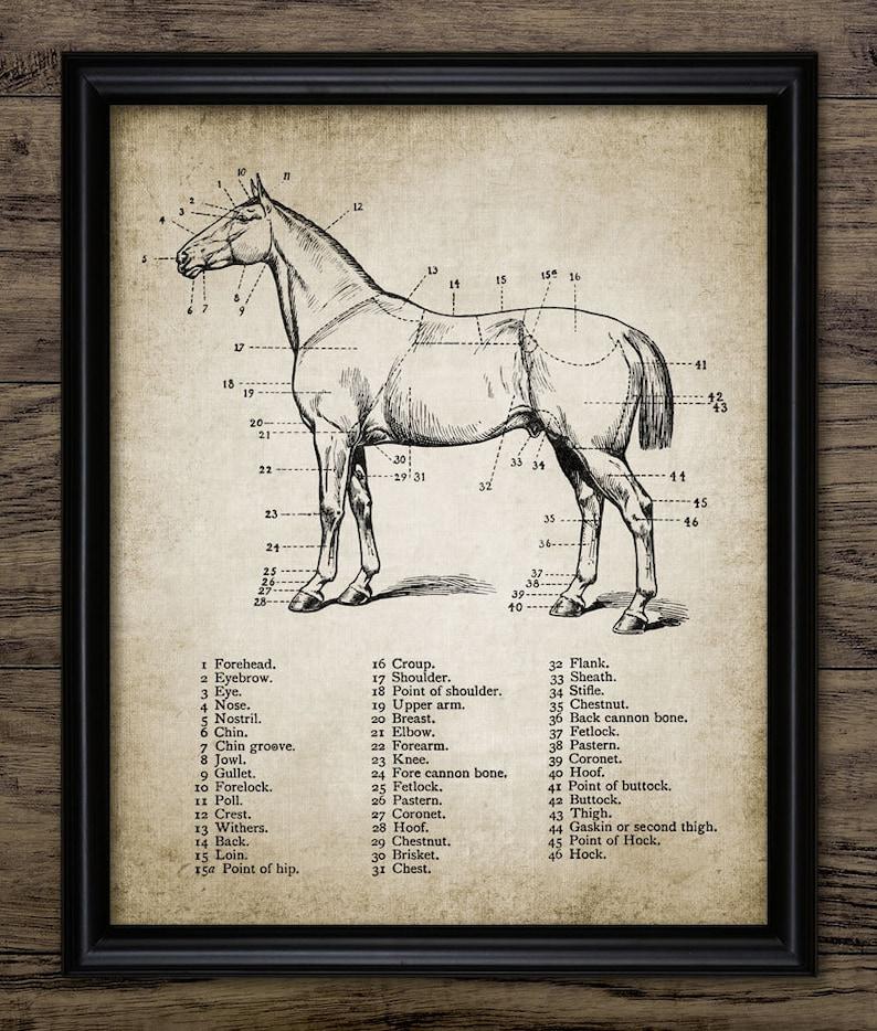 Vintage Horse Anatomy Print Horse Anatomy Illustration Etsy
