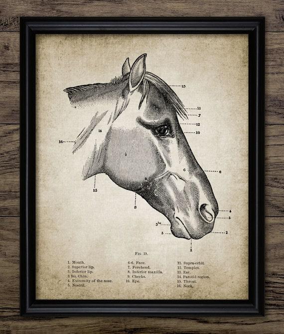 Anatomía de la cabeza de caballo Vintage imprimir | Etsy