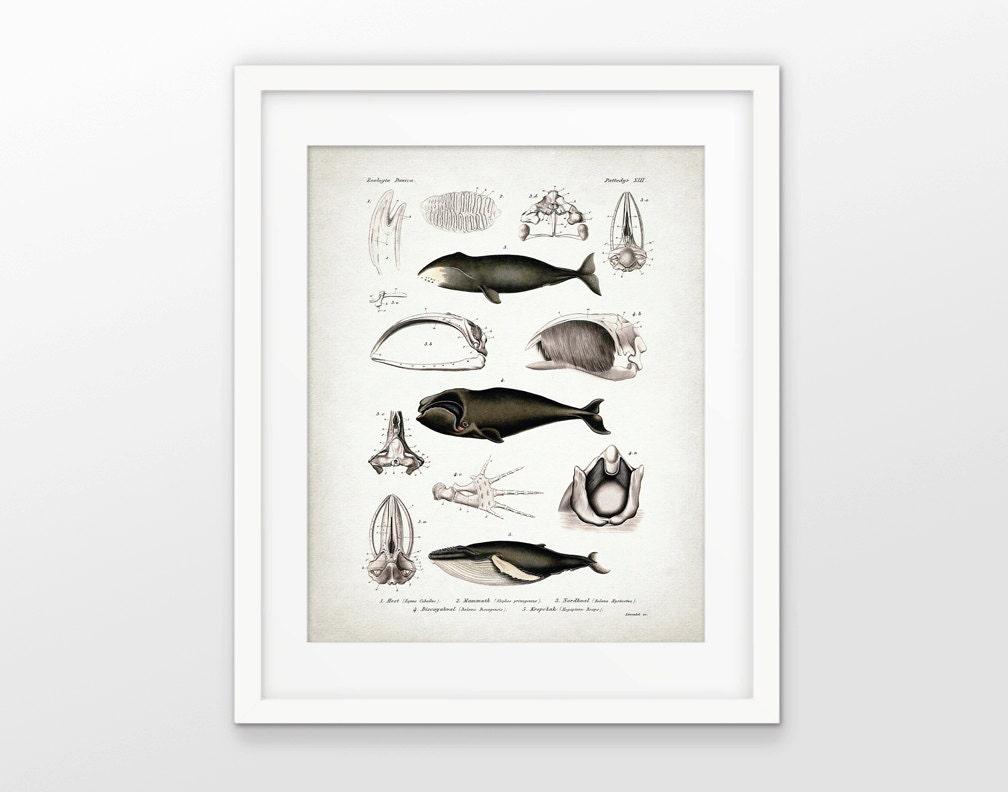 Whale Anatomy Print Antique Whale Anatomy Illustration | Etsy