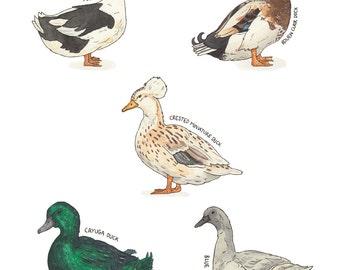 Original Watercolour Painting - Duck - Traditional - 10 varieties