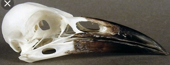 6 Real carrion  crow skull Wicca goth  pagan Curo taxidermy bird