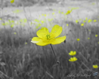 023 - Original Black and white selective color Photograph of a Buttercup - Yellow Wall Art, Home Decor, Print