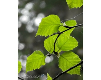 Tree Leaves Photography - Birch Leaves Decor, Green print, Leaf Decor - Fine Art Photo, Nature Picture -050