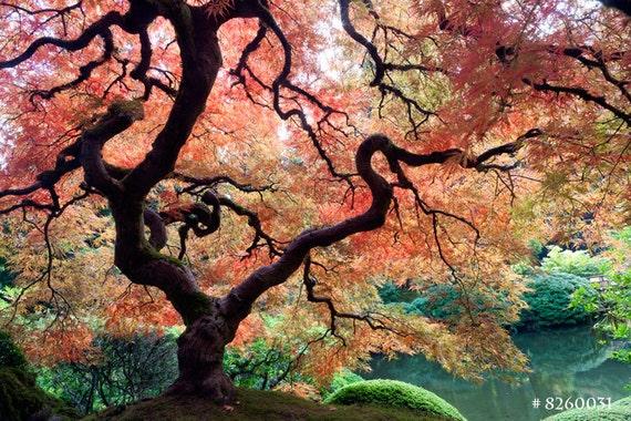 Japanese Maple Tree Autumn Leaves Japanese Garden Fall Etsy