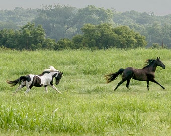 Panorama of Three Galloping Horses in High Grass - Texas -- Mounted and Matted, Frame-Ready Panoramic Photograph