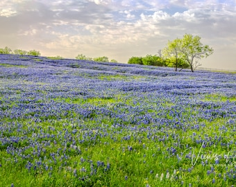 Panorama of a Hill Covered in Bluebonnets and Two Small Mesquite Trees -- Mounted and Matted, Frame-Ready Panoramic Photograph