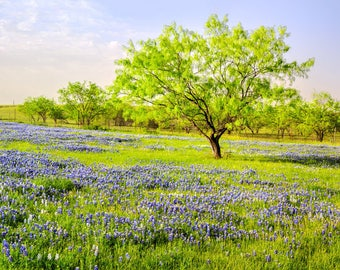 Panorama of Bluebonnet Sunrise - Wildflower- Texas -- Mounted and Matted, Frame-Ready Panoramic Photograph