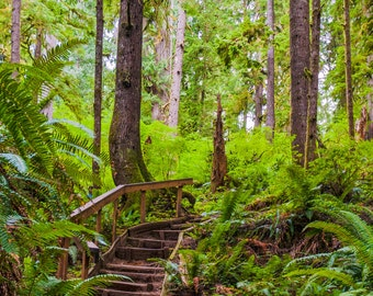 Walking Bridge Among the Trees of the Quinault Rain Forest - Oregon   -- Prints, Matted and Mounted, Framed, Canvas, Metal