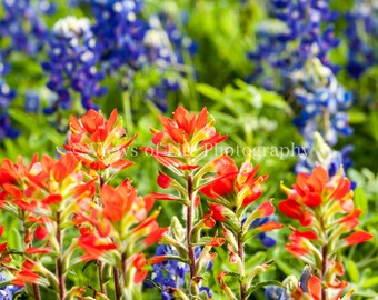 Indian Paintbrush with Bluebonnets - Texas - Western   -- Prints, Matted and Mounted, Framed, Canvas, Metal