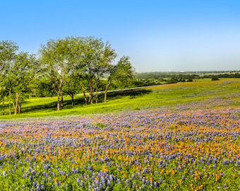 Panorama of Bluebonnets and Indian Paintbrush Along Sugar Ridge Rd - Texas -- Mounted and Matted, Frame-Ready Panoramic Photograph