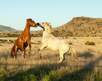 Frolicking Geldings -- Horses -- Texas --Big Bend   -- Prints, Matted and Mounted, Framed, Canvas, Metal