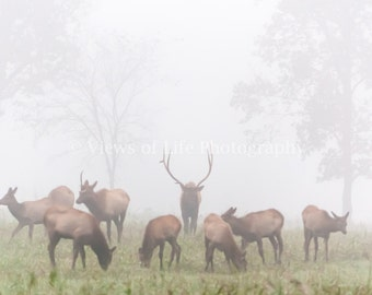 A Rocky Mountain Elk Bull Guides His Harem Out of the Mist -- Buffalo Natn'l River -- Prints, Matted and Mounted, Framed, Canvas, Metal