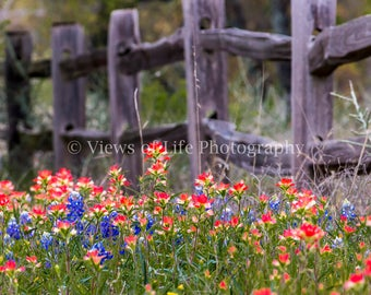 Wildflowers Along a Fenceline -- Indian Paintbrush -- Bluebonnets  -- Prints, Matted and Mounted, Framed, Canvas, Metal