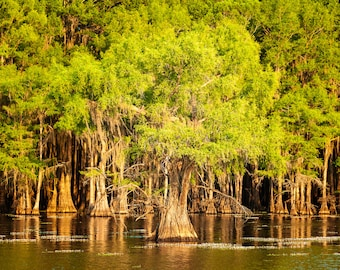 A Grove of Bald Cyprus at Caddo Lake, Texas -- Prints, Matted and Mounted, Framed, Canvas, Metal
