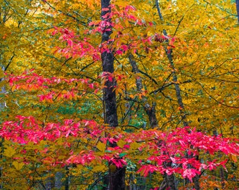Red Leaved Tree in Autumn -- Prints, Matted and Mounted, Framed, Canvas, Metal
