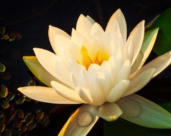 White Lilly with Yellow Center -- Prints, Matted and Mounted, Framed, Canvas, Metal