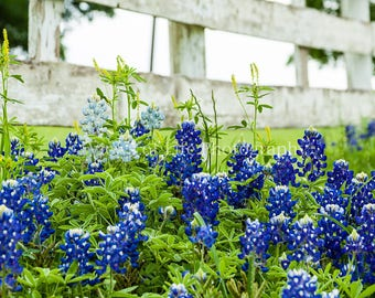 Fence Row Bluebonnets -- Flower -- Texas   -- Prints, Matted and Mounted, Framed, Canvas, Metal