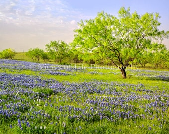 Bluebonnet Sunrise - Flowers - Texas  -- Prints, Matted and Mounted, Framed, Canvas, Metal