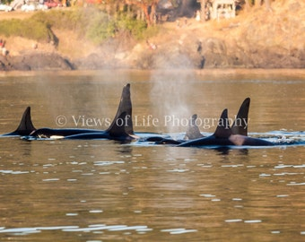 Orcas - J Pod - San Juan Island - Washington   -- Prints, Matted and Mounted, Framed, Canvas, Metal