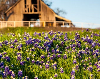 A Field of Texas Bluebonnets with a Dilapidated Old Barn in the Background   -- Prints, Matted and Mounted, Framed, Canvas, Metal