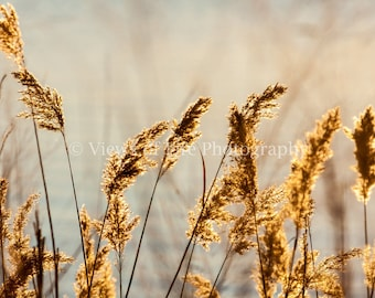 Marsh Grass   -- Prints, Matted and Mounted, Framed, Canvas, Metal