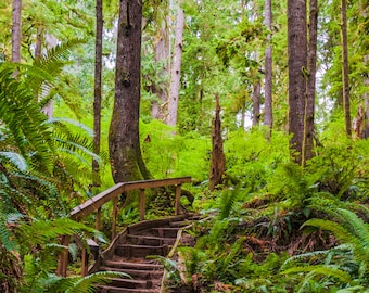 Walking Bridge Among the Trees of the Quinault Rain Forest - Washington-- Prints, Matted and Mounted, Framed, Canvas, Metal