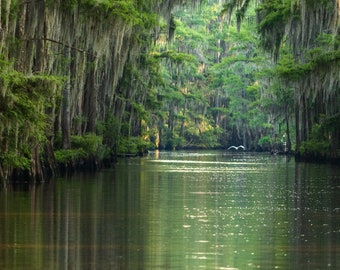 A Great White Egret Flies Through a Channel in the Caddo Lake Swamp -- Prints, Matted and Mounted, Framed, Canvas, Metal