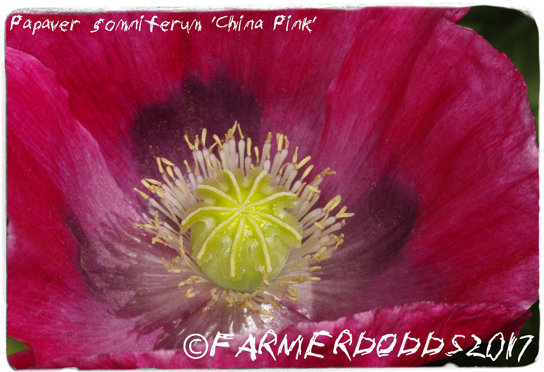 Papaver Somniferum China Pink 300 Seeds Etsy