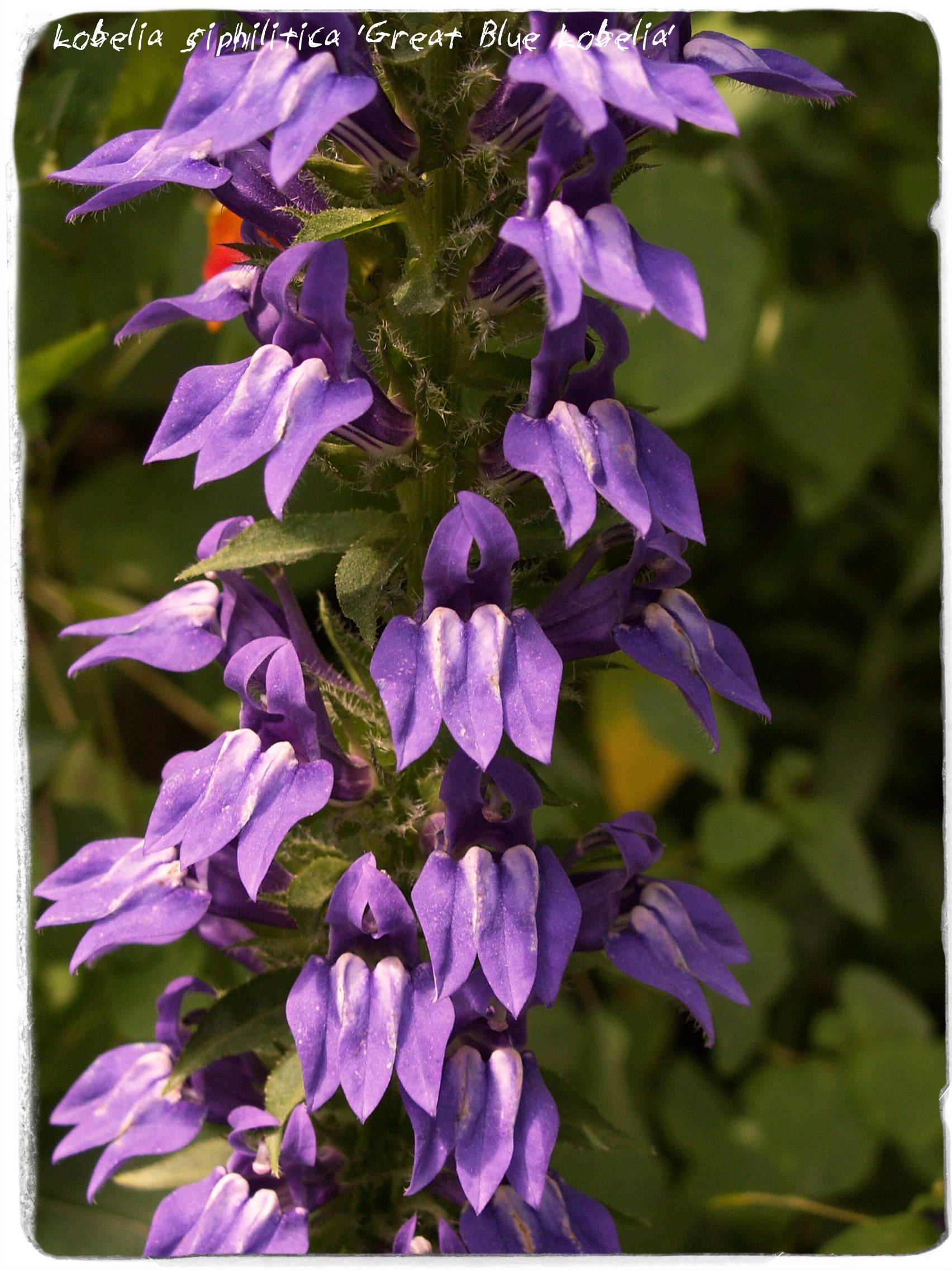 Lobelia Siphilitica Great Blue Lobelia 300 Seeds Etsy