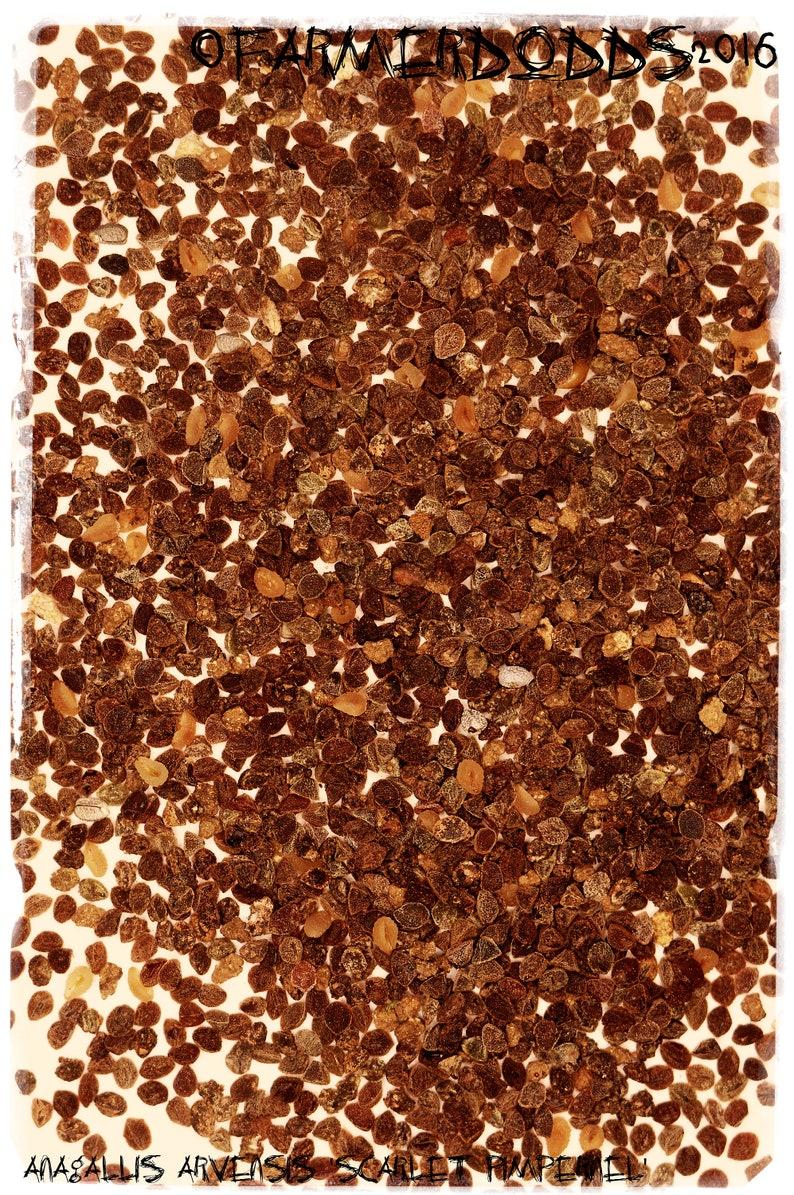 "100 Chelidonium majus /""Chélidoine/"" EX. Somerset, Angleterre Graines"