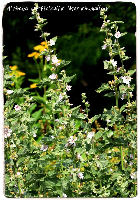 SEEDS Ex. Suffolk, England 100 Althaea officinalis /'Marshmallow/'