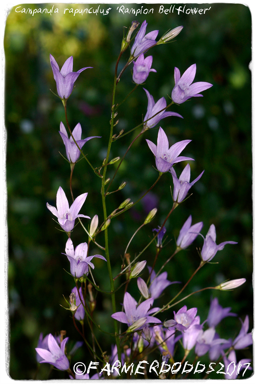 Campanula Rapunculus Rampion Bellflower 300 Seeds Etsy
