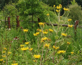 Inula magnifica (Giant Inula) [20 Seeds]