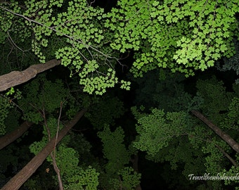 Allegheny Forest Canopy Photography Print, Pennsylvania Forest, Forest Canopy Art, Woodland Photo