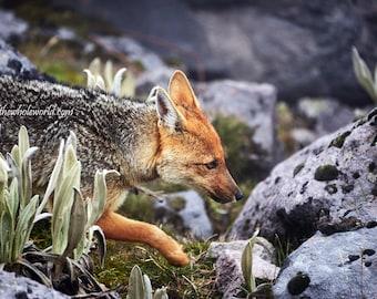 Andes Fox Print, Nature Print, Fine Art Animal Print, Fox Animal Wall Art, Wildlife Photography