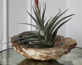 GIANT Abalone