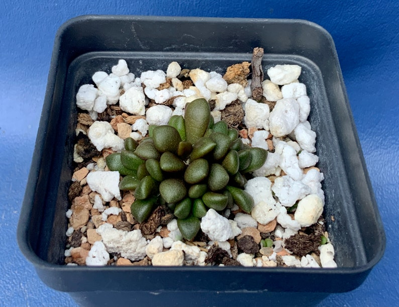 Heat Pack included! Anacampseros miniatura DT 2466 shown in a 2 pot #1147