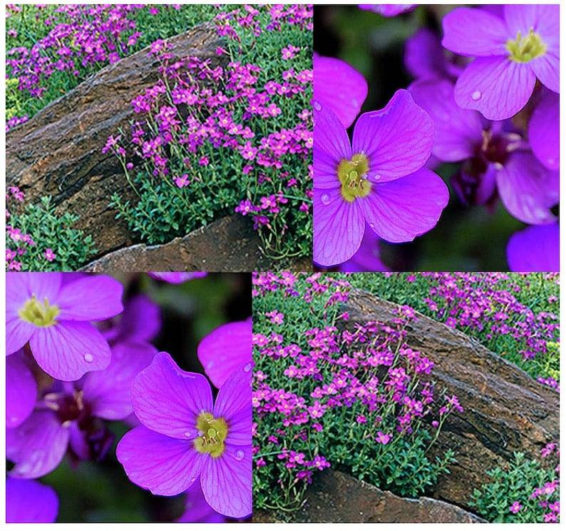 Lila Gänsekresse Aubrieta Deltoidea lila oder Blau Blumen | Etsy