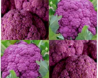 VIOLET QUEEN Cauliflower seeds - PURPLE Type - Purple florets used raw for dips - 60 - 65 Days