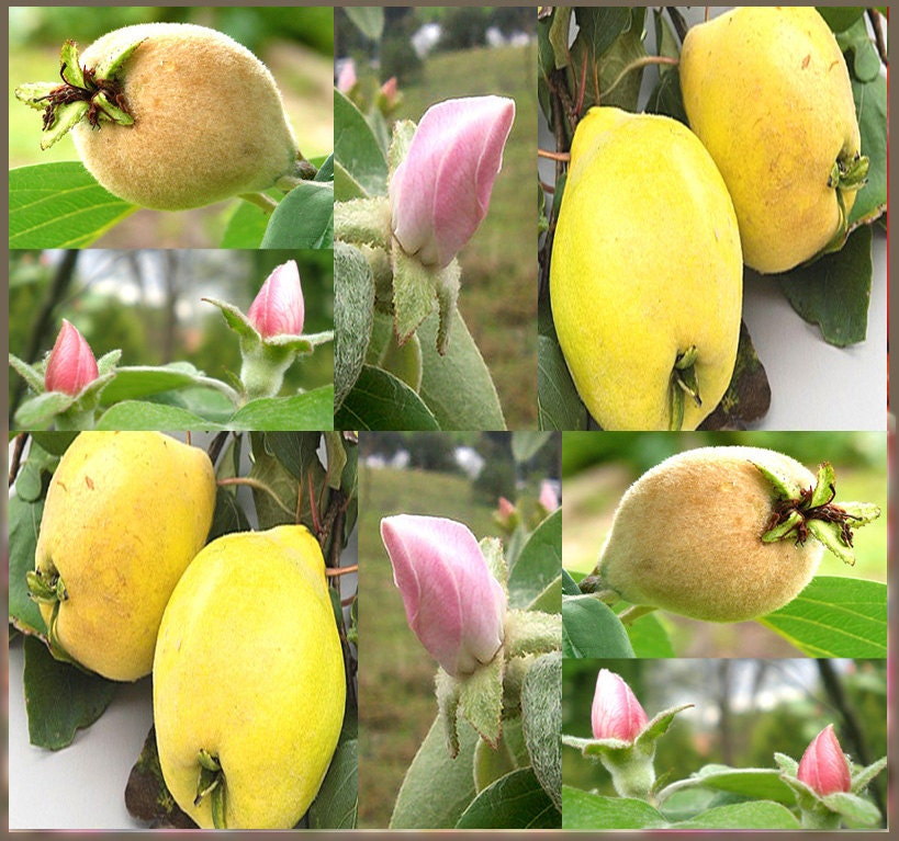 Quince Fruit Tree Seeds Symbol For Fertility Love Life Etsy