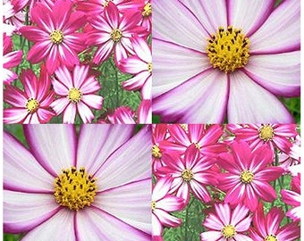 Picotee Cosmos bipinnatus Flower Seeds ~ Perfects for Cut Flower - HIGHLY PRAISED - Gorgeous, Choose From 200 or 4,200