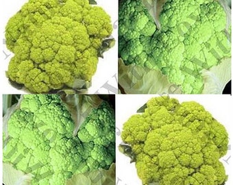 MARCHIGIANO GREEN ~ ITALIAN Heirloom Cauliflower seeds ~ Very flavorful !! - 70 - 80 Days