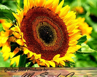 TAIYO Sunflower Seed - Orange yellow flowers with a chocolate center - POPULAR FLORIST Variety, Choose from 50  or 1,000