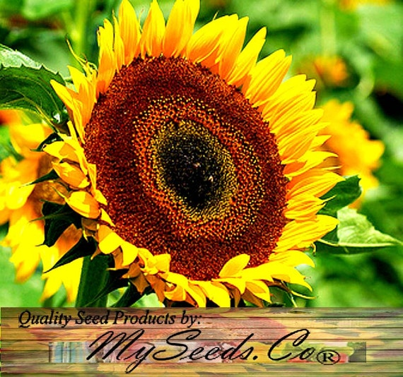 Taiyo Sunflower Seed Orange Yellow Flowers With A Chocolate Etsy